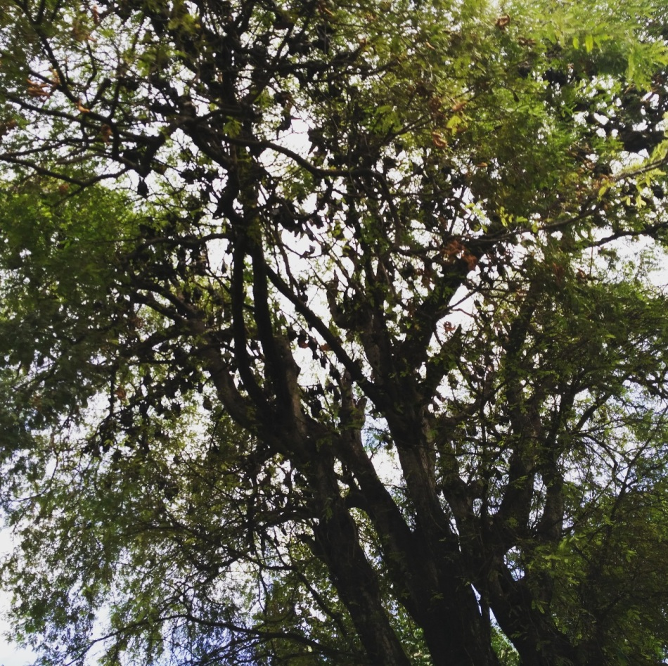 Pohon Asam yang dipenuhi Kelelawar